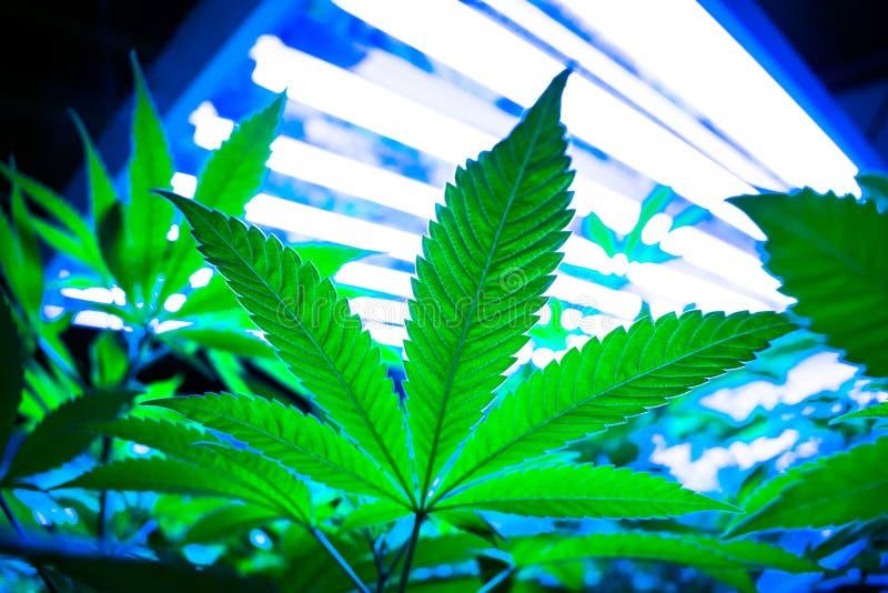 Marihuanablad, Potteninstallatie op Cannabislandbouwbedrijf royalty-vrije stock afbeeldingen