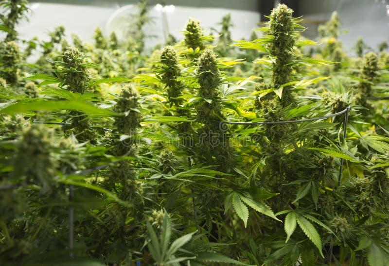 Marihuanablumenknospen stockfoto