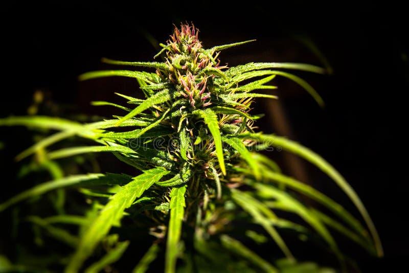 Marihuanainstallatie royalty-vrije stock afbeelding