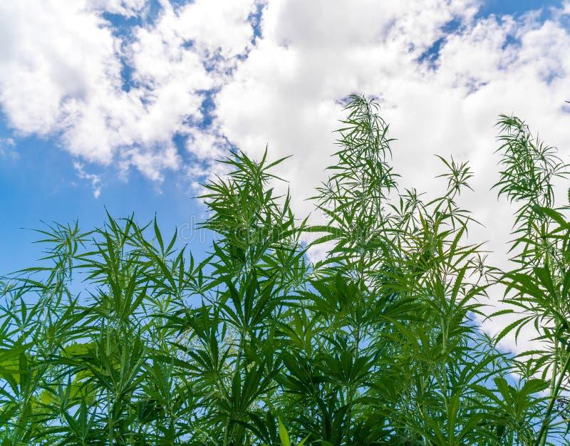 Marihuanainstallatie bij het openluchtgebied van het cannabislandbouwbedrijf royalty-vrije stock foto's