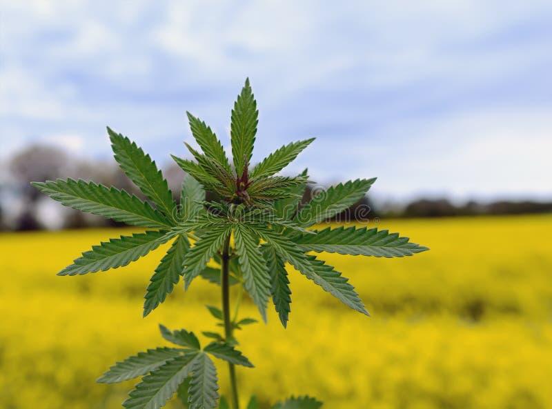 Marihuanainstallatie bij het openluchtgebied van het cannabislandbouwbedrijf royalty-vrije stock fotografie