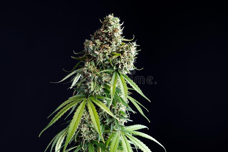 Marihuanainstallatie op een zwarte geïsoleerde achtergrond royalty-vrije stock foto