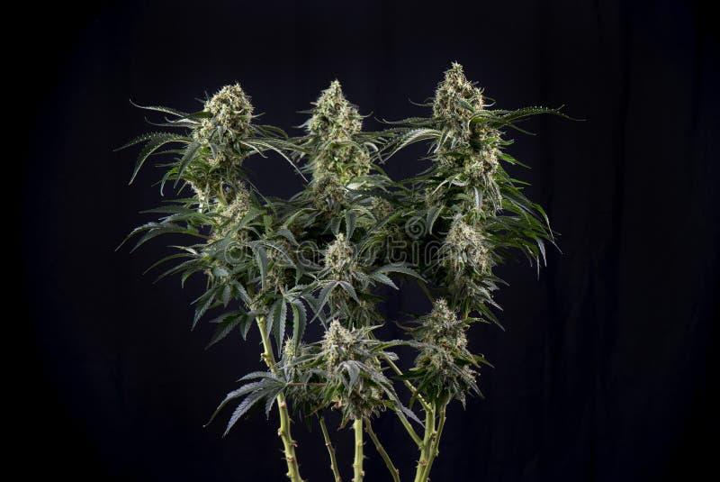 Marihuany koli zieleni pęknięcia marihuany napięcie z widocznymi hairs obraz royalty free