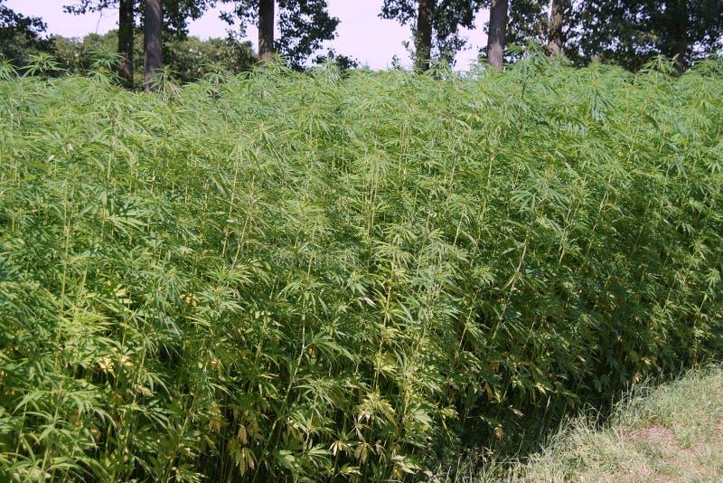 Marihuany pole - Hennep lub marihuana (marihuany sativa) obrazy stock