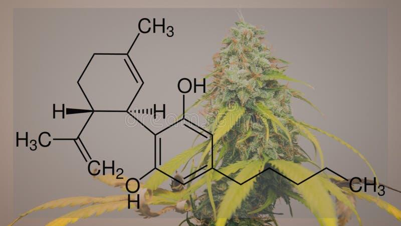 Marihuany rośliny kwiaty, rosnąć salowy Świeży żniwo medyczni marihuana pączki CBD formu?a obraz stock