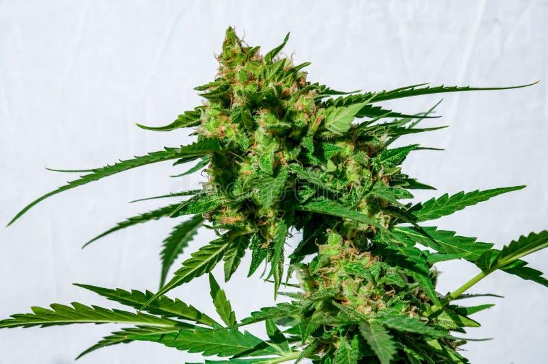 Marihuany rośliny okwitnięcie fotografia stock
