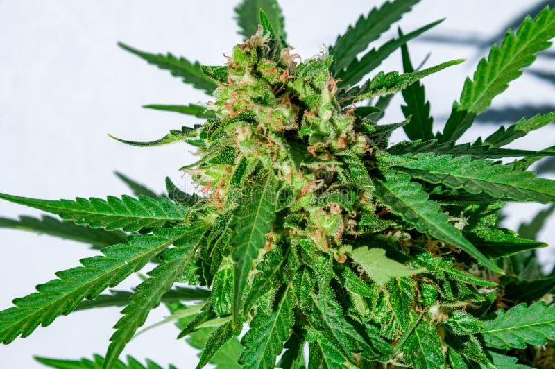 Marihuany rośliny okwitnięcie zdjęcie royalty free