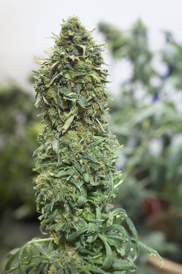 Marijuana fotos de stock
