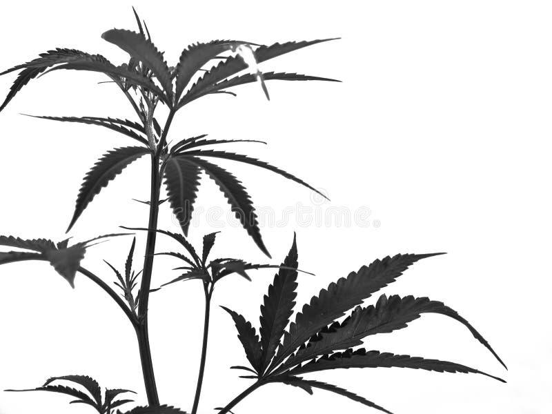 marijuana fotografering för bildbyråer