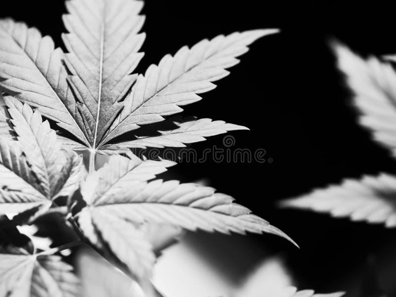 marijuana royaltyfria foton
