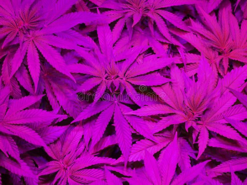 marijuana royaltyfri foto