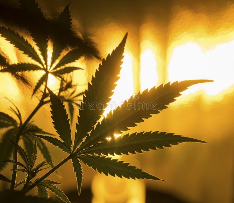 marijuana royaltyfria bilder