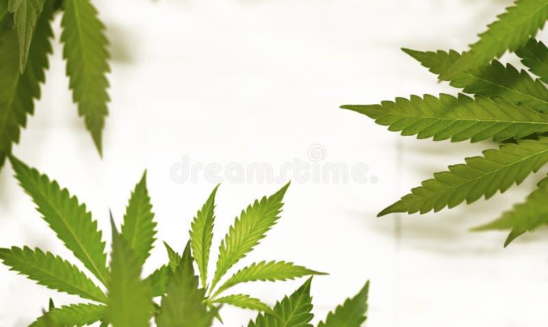 marijuana imagens de stock
