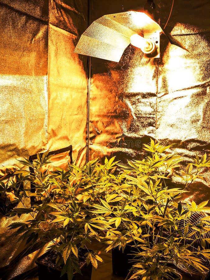 marijuana royaltyfri fotografi
