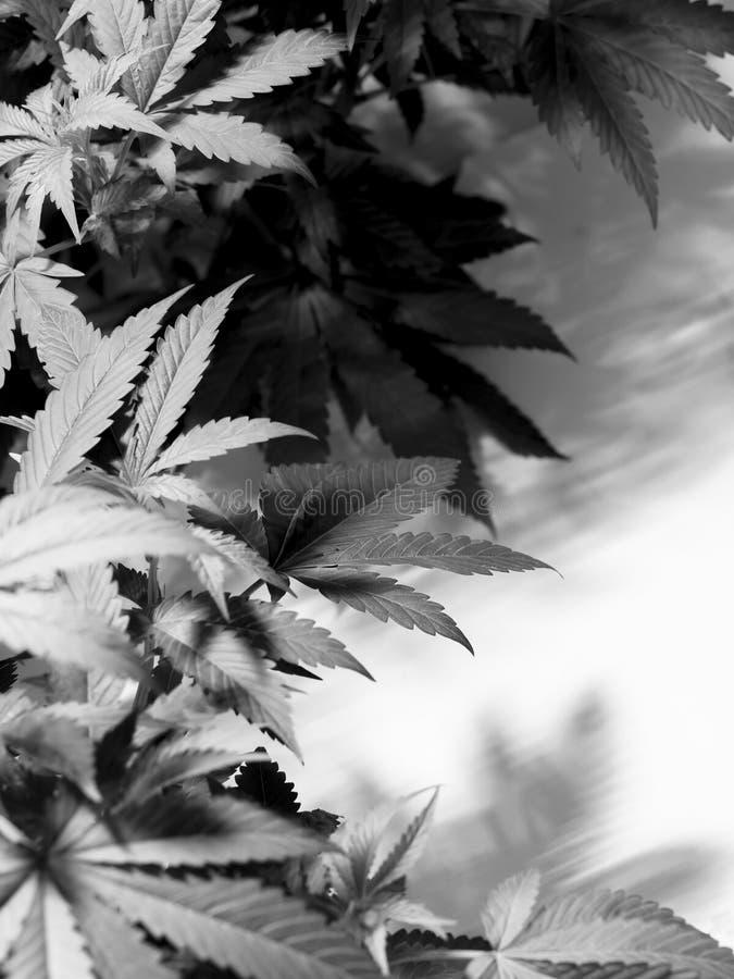 marijuana arkivfoton