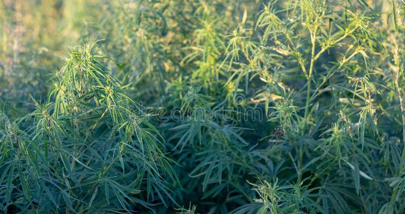 A marijuana bush, with strong branches on which ripe seeds. Close up  farm hemp leaf medical plant thc background green medicinal culture drug herb medicine royalty free stock photos