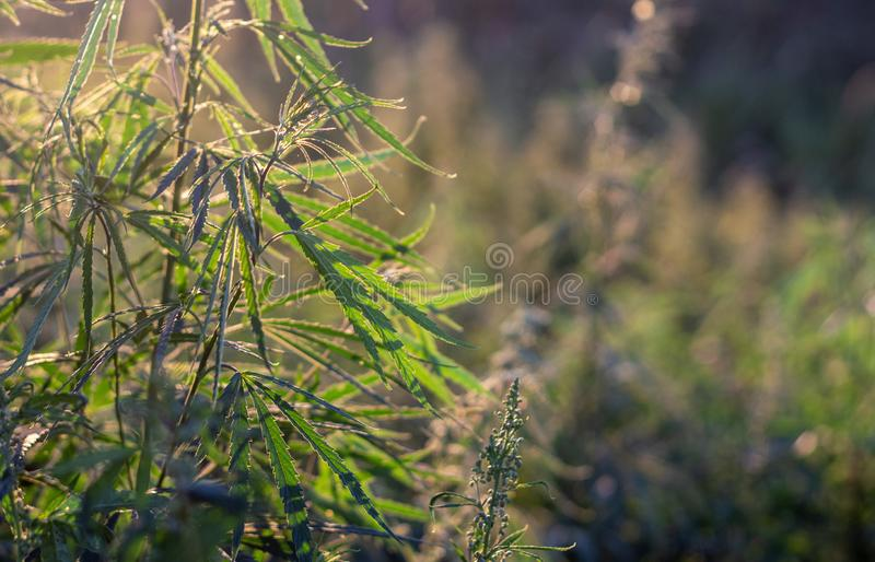 A marijuana bush, with strong branches on which ripe seeds. Close up  farm hemp leaf medical plant thc background green medicinal culture drug herb medicine stock photos