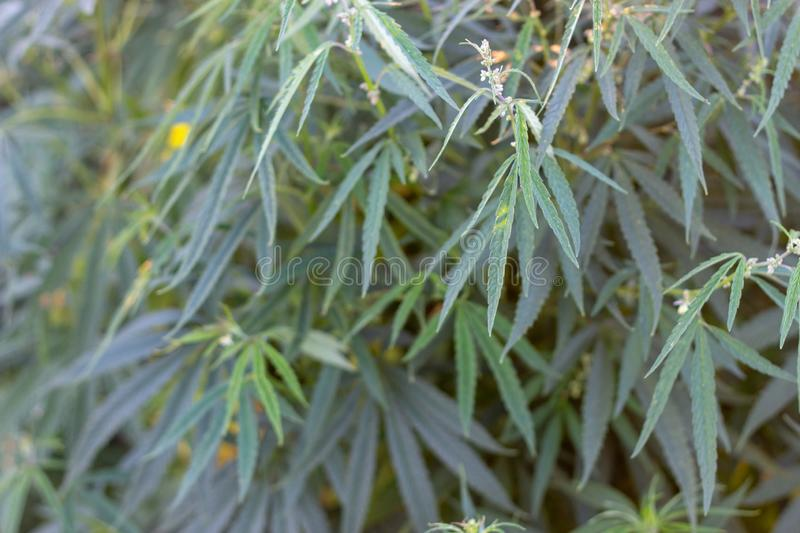 A marijuana bush, with strong branches on which ripe seeds. Close up  farm hemp leaf medical plant thc background green medicinal culture drug herb medicine stock image