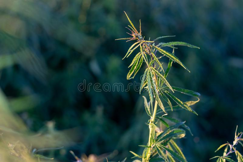 A marijuana bush, with strong branches on which ripe seeds. Close up  farm hemp leaf medical plant thc background green medicinal culture drug herb medicine stock photography