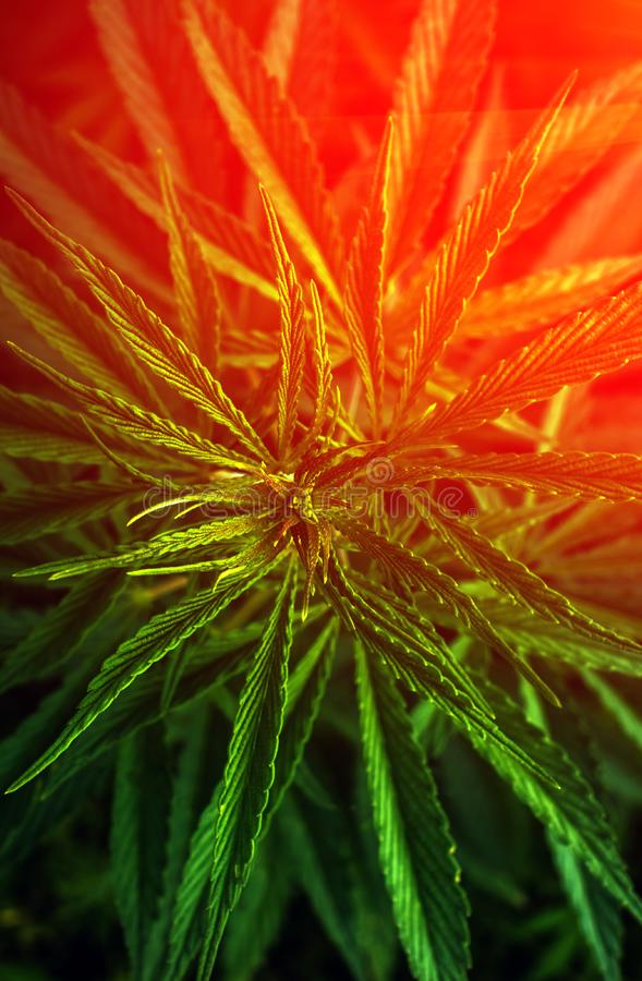 Marijuana . cannabis drug at sunset. Marijuana leaf clouse-up. cannabis for the background stock images