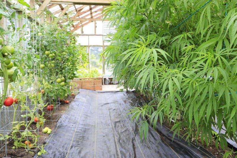 Marijuana (cannabis), hampaväxt som inom växer av det grönt ho arkivbild