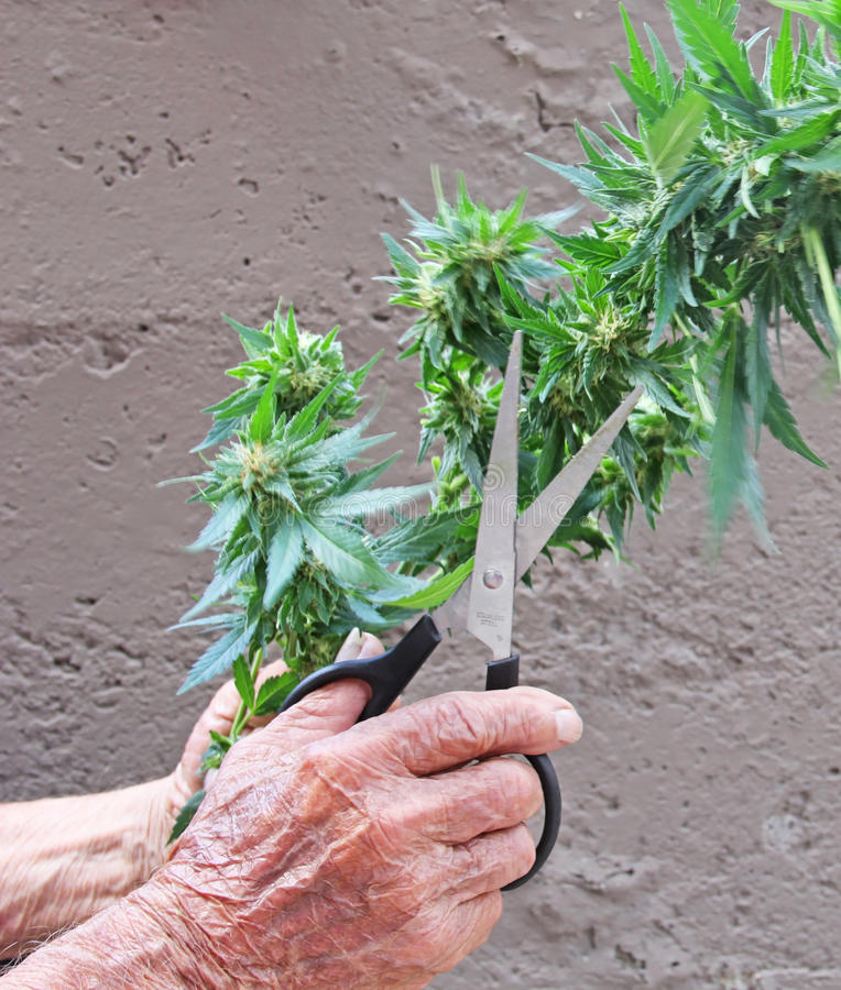 Marijuana Cannabis plant harvested by senior citizen stock images