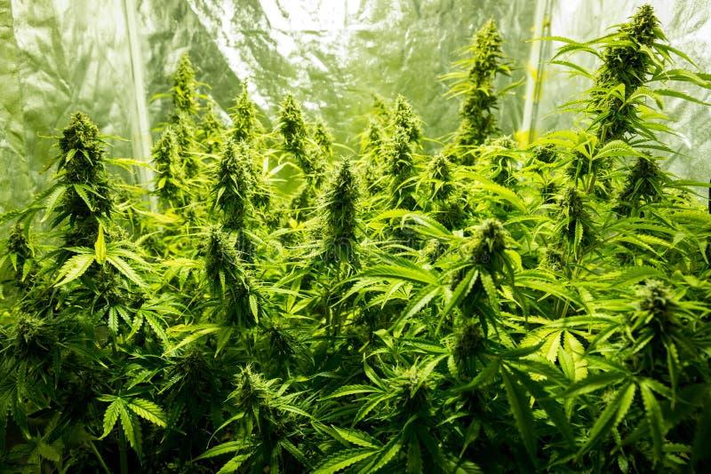Cannabis indoor cultivation - Cannabis grow box. Marijuana cultivation indoor growing cultivation close up in grow box stock photos