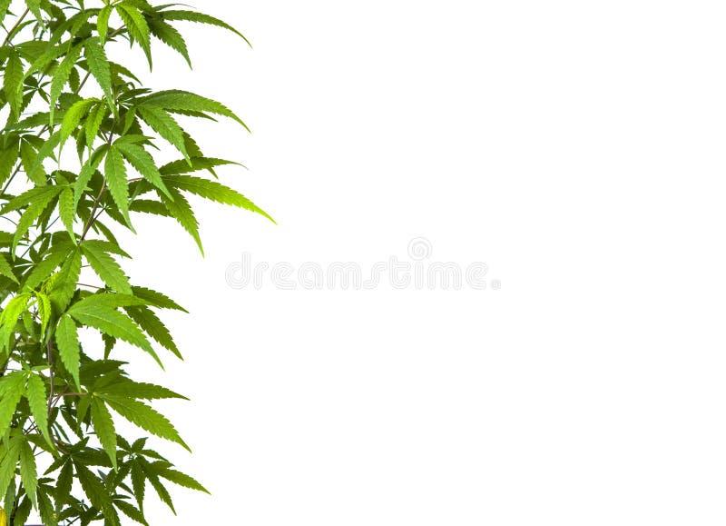 A marijuana deixa o ramo isolado no branco fotos de stock royalty free