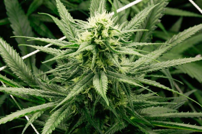 Marijuana flower buds. stock photo