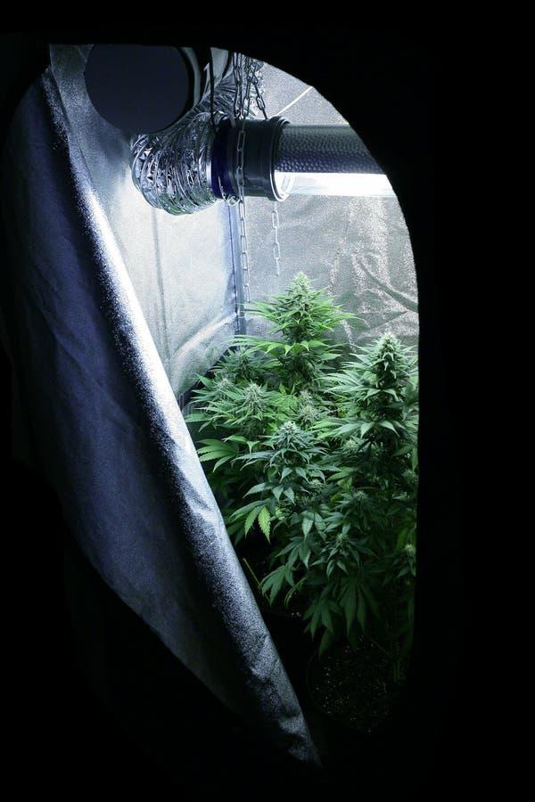 Marijuana garden home lab royalty free stock photo