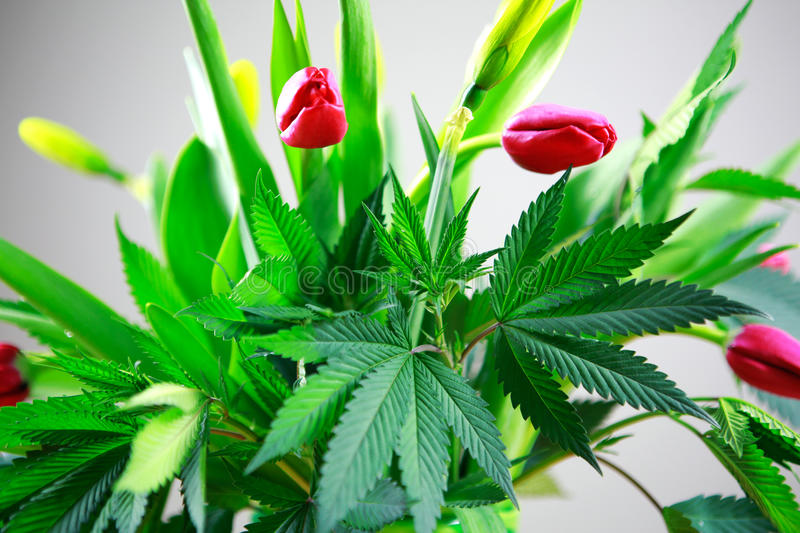 Marijuana green fresh large leafs ( cannabis), hemp plant in a nice spring flower bouquet with pink tulips. royalty free stock photography