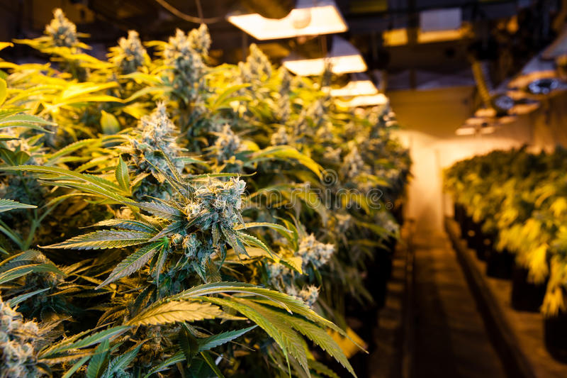 Marijuana in a grow room under lights. Indoor Marijuana bud under lights. This image shows the warm lights needed to cultivate marijuana royalty free stock images
