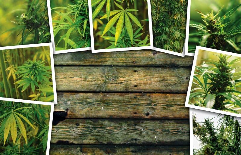 Marijuana growth on plantation, photo collage stock image