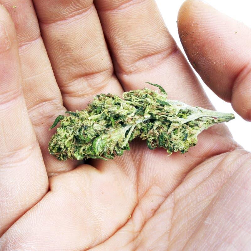 Marijuana i hand arkivbild