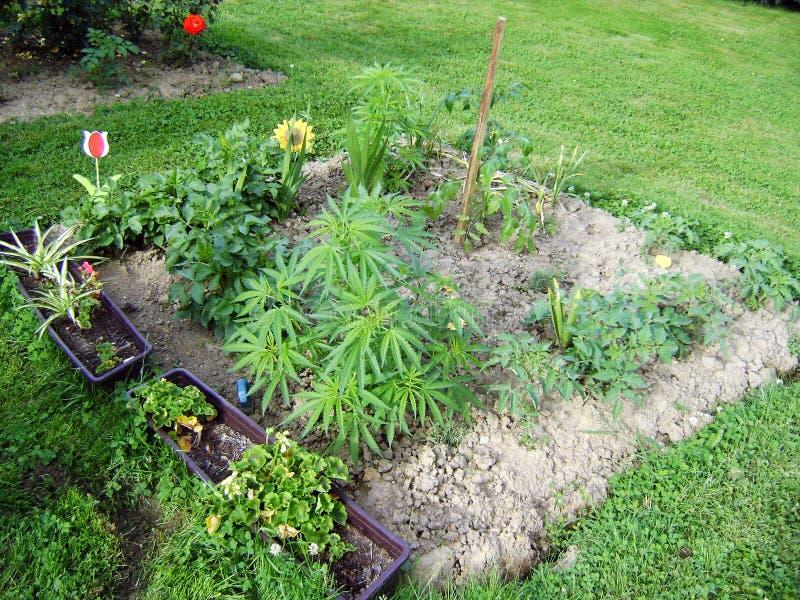 Marijuana i trädgård royaltyfri bild
