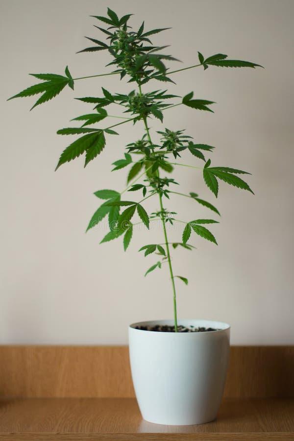Marijuana indica della pianta della giovane cannabis verde della foglia immagine stock