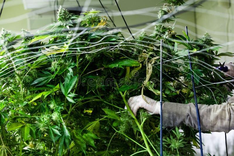A marijuana interna cresce o aparamento da sala fotos de stock
