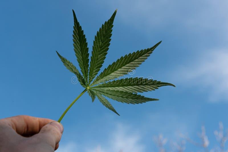 Marijuana leaf with hand royalty free stock images