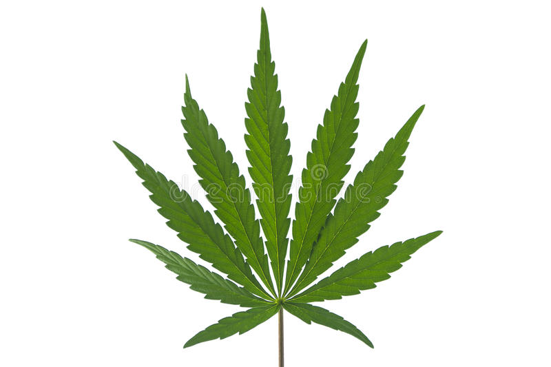 A Marijuana Leaf Isolated royalty free stock images