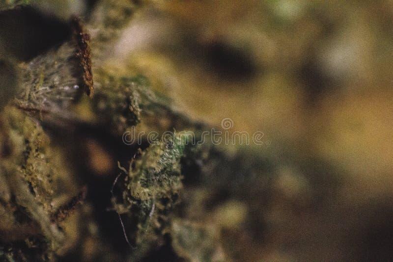 Marijuana médicale, cannabis, sativa, indica, Trichomes, THC, CBD, traitement de cancer, mauvaise herbe, fleur, chanvre, gramme,  photo stock