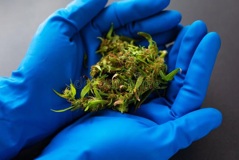 Marijuana médicale dans les mains d'un docteur dans les gants médicaux bleus bourgeons de cannabis dans les mains d'un médecin gé photos stock