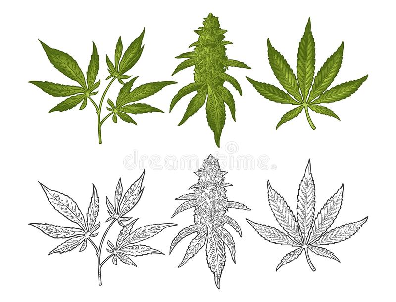 Marijuana mature plant with leaves and buds. Vector engraving illustration. Marijuana mature plant with leaves and buds cannabis. Hand drawn design element royalty free illustration