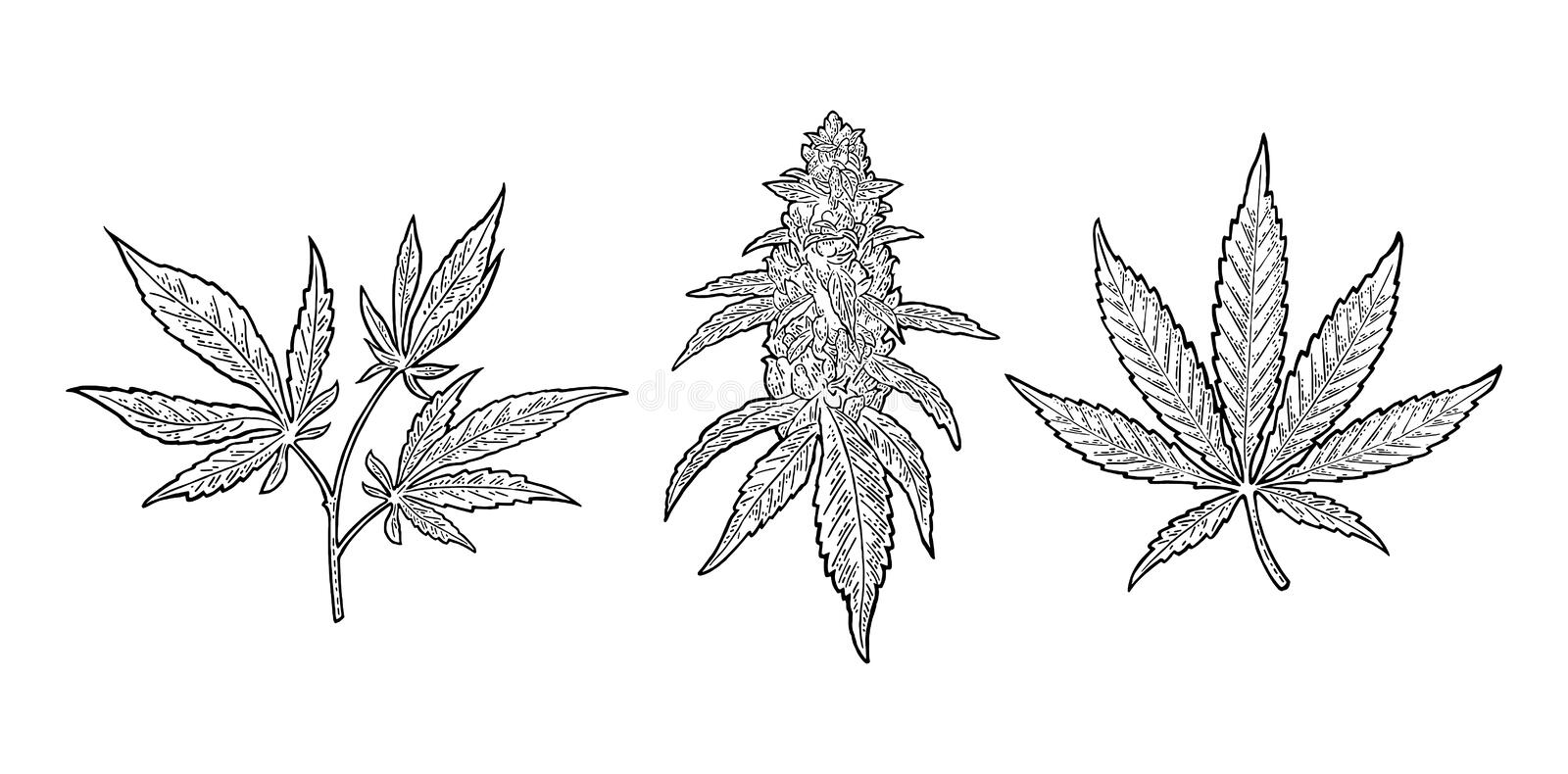 Marijuana mature plant with leaves and buds. Vector engraving illustration. Marijuana mature plant with leaves and buds cannabis. Hand drawn design element stock illustration
