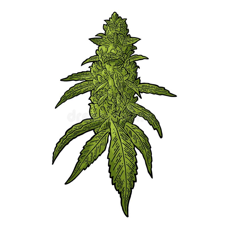 Free Marijuana Mature Plant With Leaves And Buds. Vector Engraving Illustration Stock Photo - 102593750