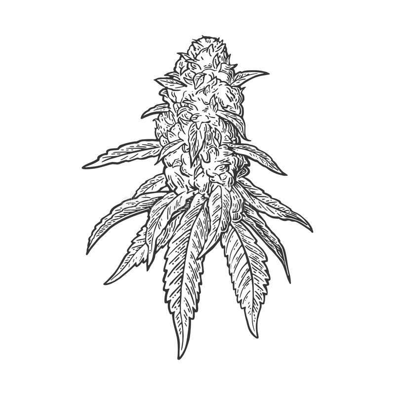 Free Marijuana Mature Plant With Leaves And Buds. Vector Engraving Illustration Royalty Free Stock Images - 82369519