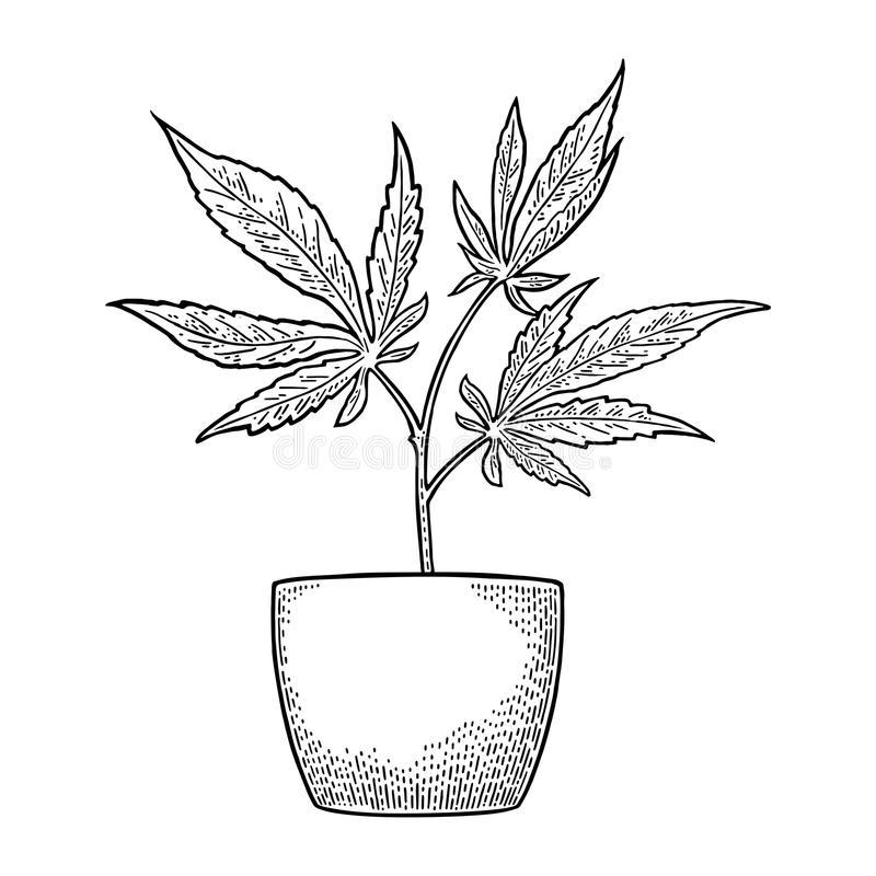 Marijuana plant with leaf in pot. Vintage engraving. Marijuana plant with leaf in pot. Hand drawn design element cannabis. Vintage black vector engraving stock illustration
