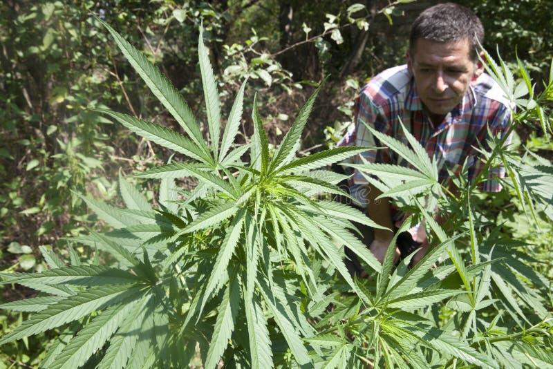 Download Marijuana Plant stock photo. Image of leaf, horizontal - 45203696