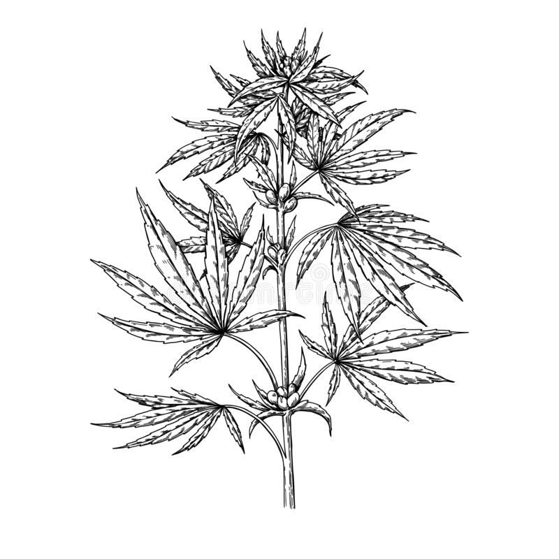 Marijuana Plant Vector Drawing Cannabis Botanical Illustration Hemp Vintage Sketch Stock Vector Illustration Of Legalize Herbal 178560364