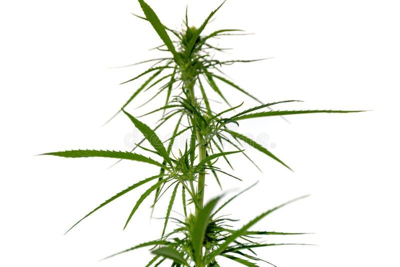 Marijuana plant on white background, cannabis legalization royalty free stock images