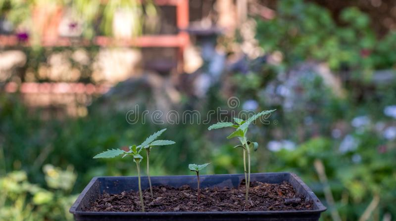 Marijuana seedlings  in a tray. Marijuana seedlings in a seed tray in an urban garden image with copy space in horizontal format royalty free stock images